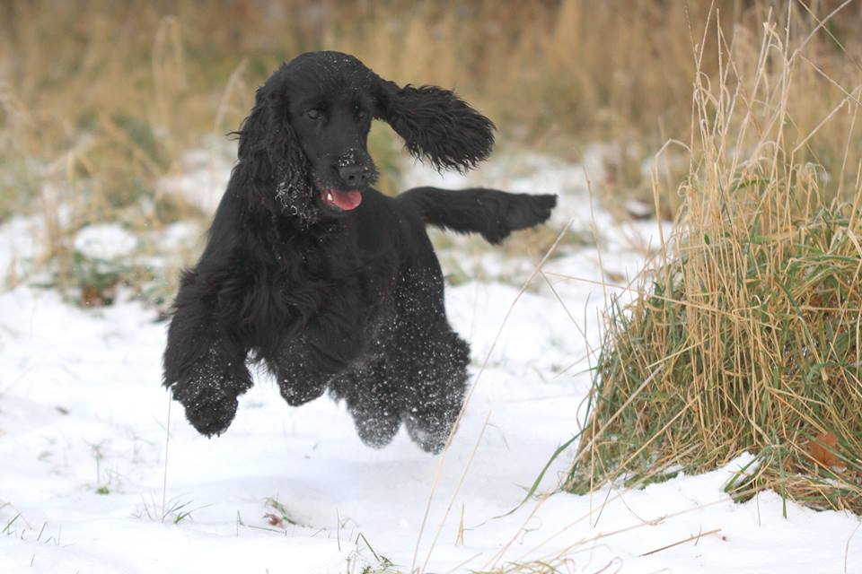 Black dog with all fours off tail